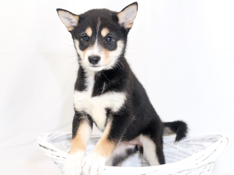 Shiba Inu-Female-Black / Tan-2423405-My Next Puppy