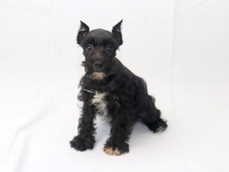 Miniature Schnauzer-Female-Black-2427798-My Next Puppy