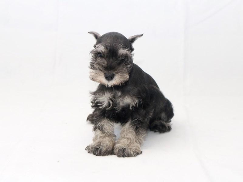 Miniature Schnauzer-Male-Salt / Pepper-2427801-My Next Puppy