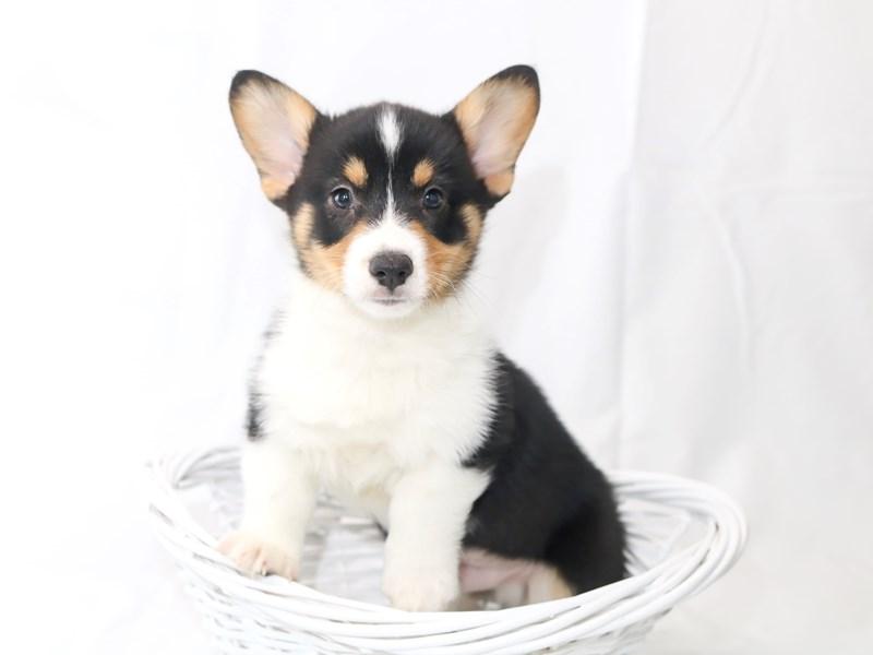 Pembroke Welsh Corgi-Male-Black White / Tan-2440514-My Next Puppy