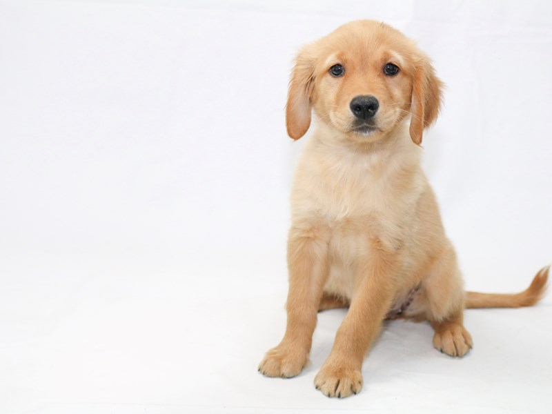 Golden Retriever-Female-Dark Golden-2440516-My Next Puppy