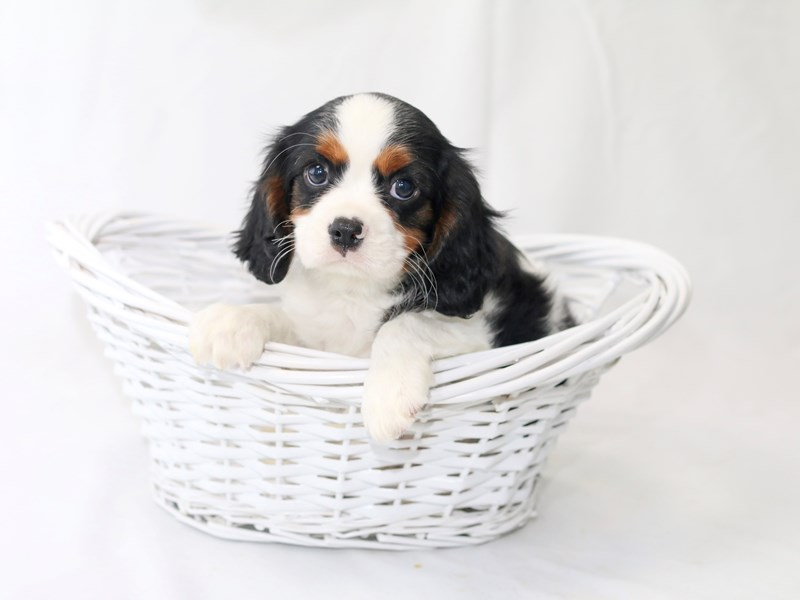 Cavalier King Charles Spaniel-Male-Tri-Colored-2440519-My Next Puppy