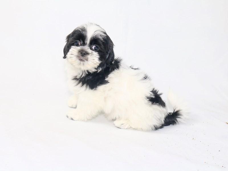 Shih Tzu-Female-white and black-2447758-My Next Puppy