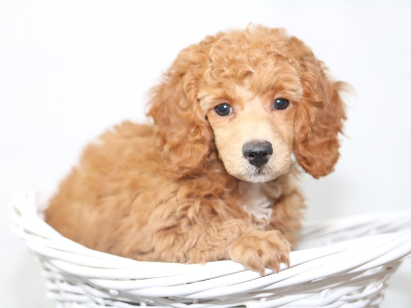 Miniature Poodle-Female-Red-2447760-My Next Puppy