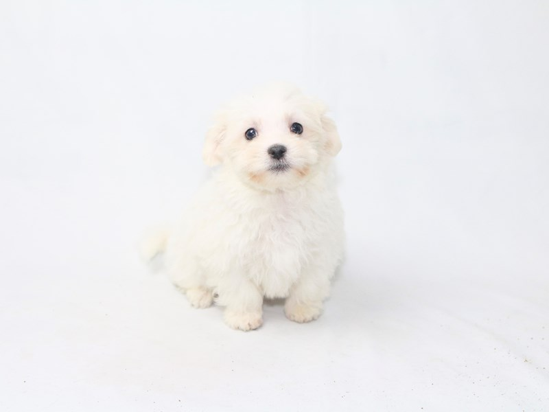Maltese-Male-White-2447795-My Next Puppy