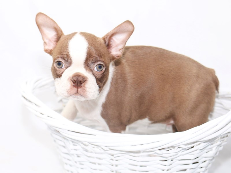 Boston Terrier-Male-red and white-2447800-My Next Puppy
