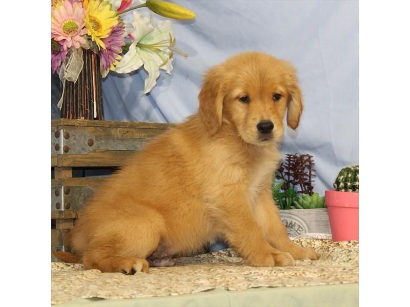 Golden Retriever-Male-Dark Golden-2452497-My Next Puppy