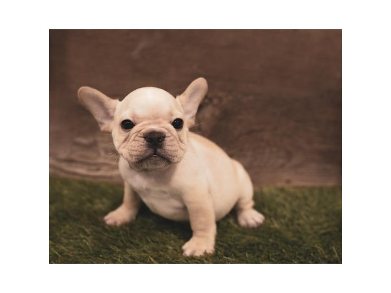 French Bulldog-Male-Cream-2452498-My Next Puppy