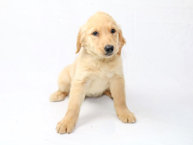 Golden Retriever-Female-Golden-2454582-My Next Puppy
