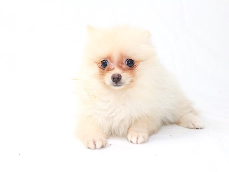 Pomeranian – Isabelle