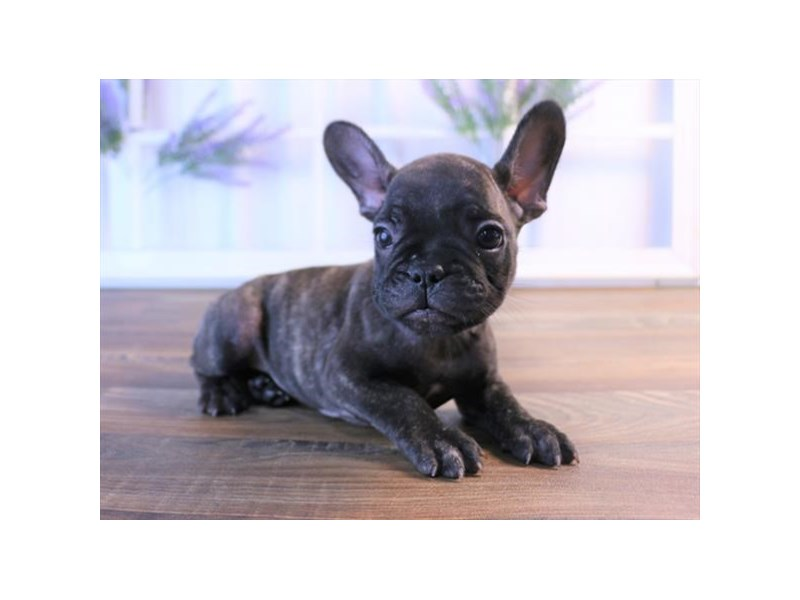 French Bulldog-Female-Brindle-2458980-My Next Puppy