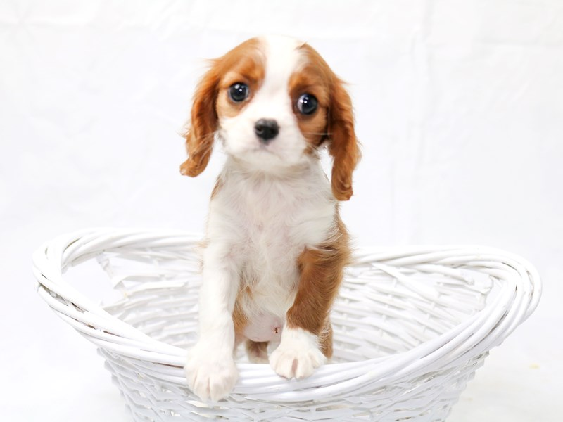 Cavalier King Charles Spaniel-Female-Blenheim / White-2465388-My Next Puppy