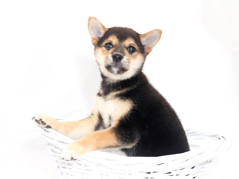 Shiba Inu-Male-Black / Tan-2423312-My Next Puppy