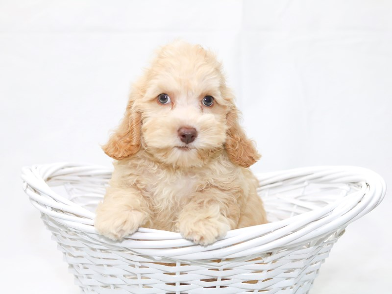 Mini Cockapoo – Coco