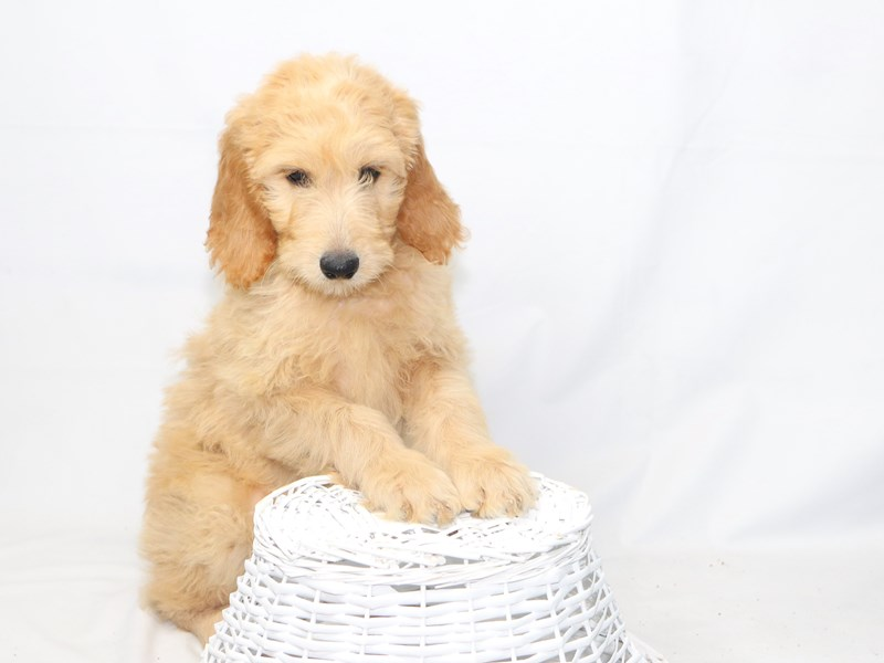 Goldendoodle – Madison