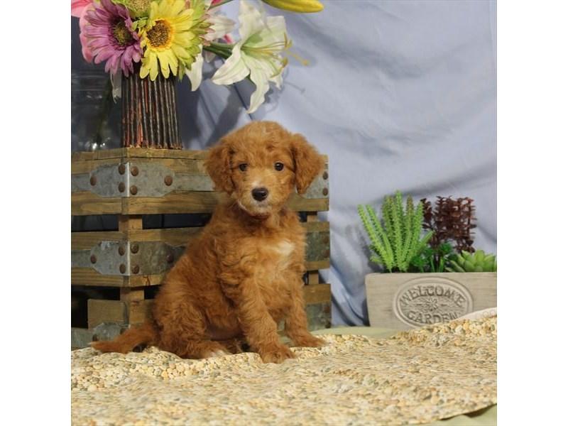 2nd Generation Mini Goldendoodle – Precious