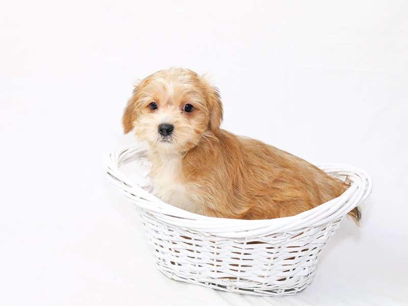 Shorkie-Female-Sable-2454584-My Next Puppy
