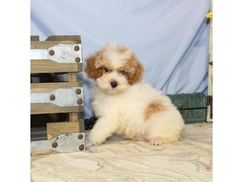 Poodle – Carter