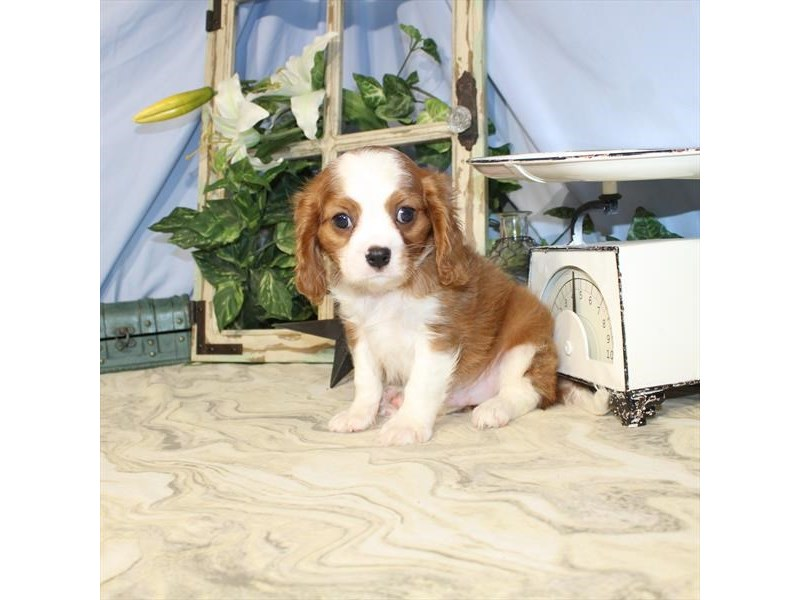 Cavalier King Charles Spaniel-Male-Blenheim / White-2458533-My Next Puppy