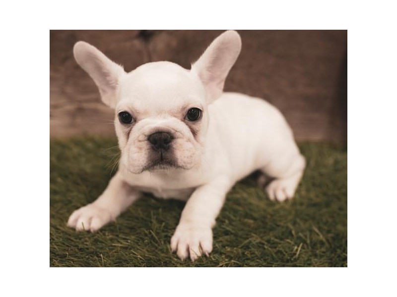 French Bulldog-Female-White-2458538-My Next Puppy