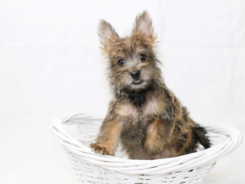 Cairn Terrier-Male-Wheaten-2465389-My Next Puppy