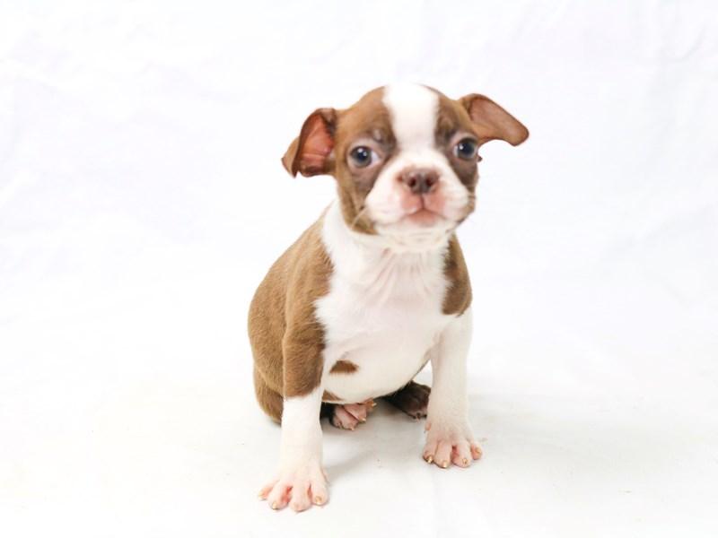 Boston Terrier – Bitsy