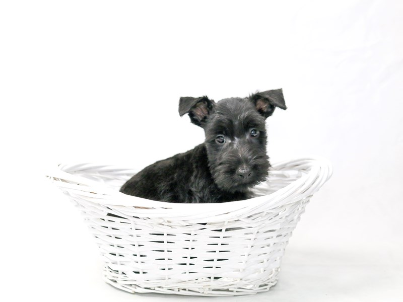 Scottish Terrier-Male-Black-2470137-My Next Puppy