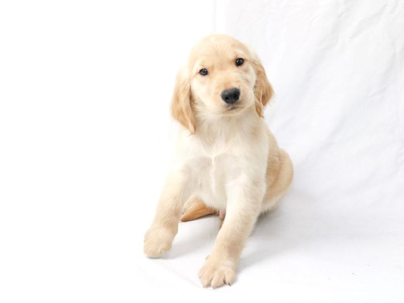 Golden Retriever-Male-Golden-2470140-My Next Puppy