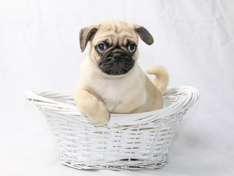 Pug-Male-Fawn-2470145-My Next Puppy