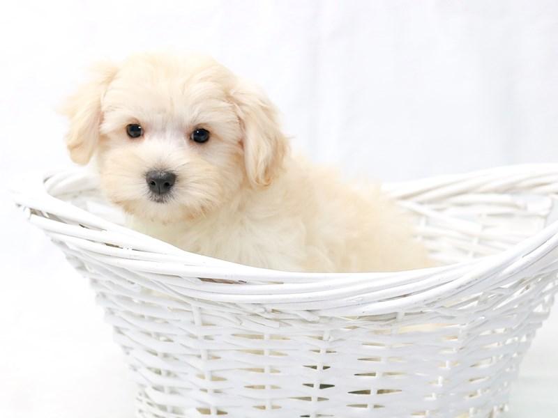 2nd Generation Morkie-Female-Cream-2470203-My Next Puppy