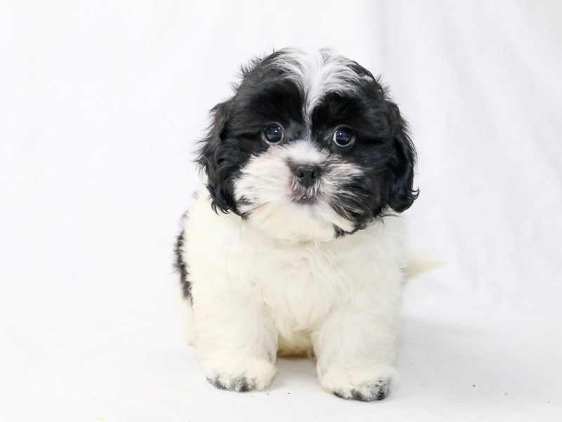 Miniature Shihpoo-Male-White / Black-2477251-My Next Puppy