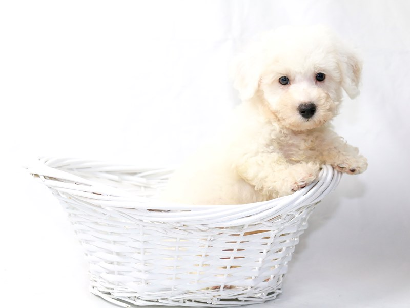 Bichon Frise-Male-White-2477252-My Next Puppy