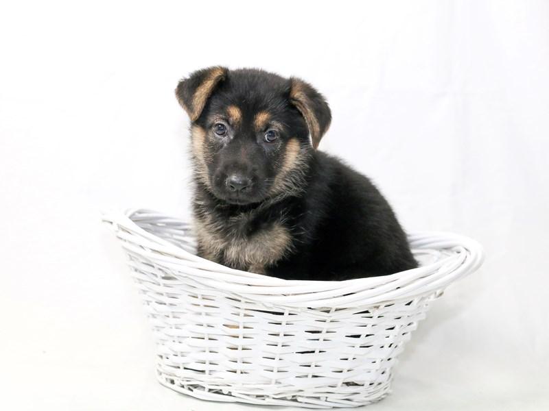 German Shepherd Dog – Rosie
