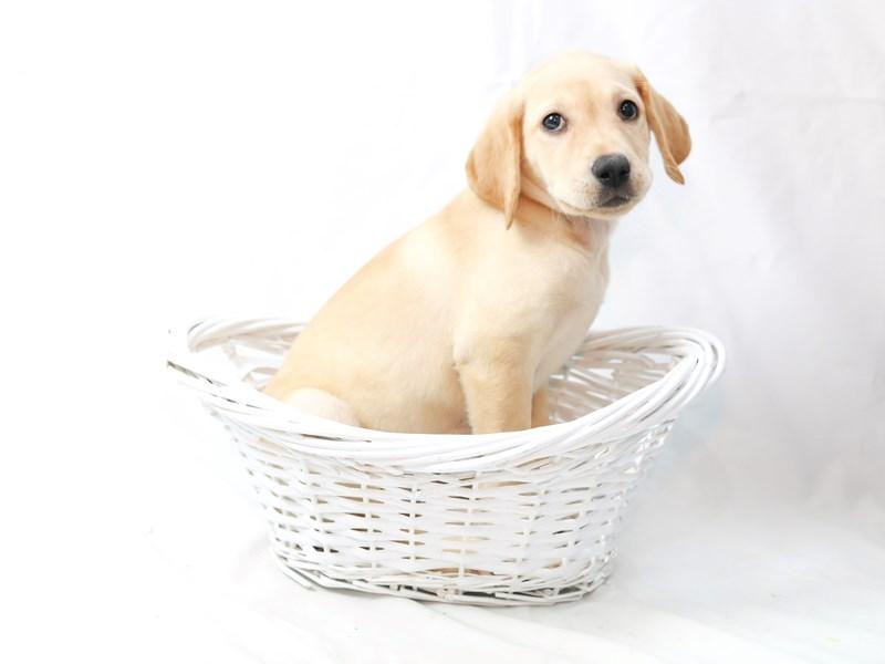 Labrador Retriever – Morgan