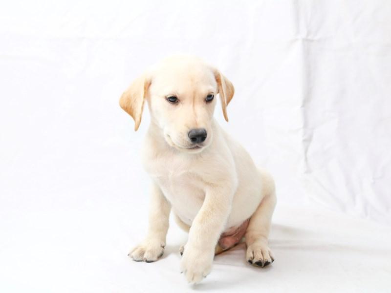 Labrador Retriever – Caleb
