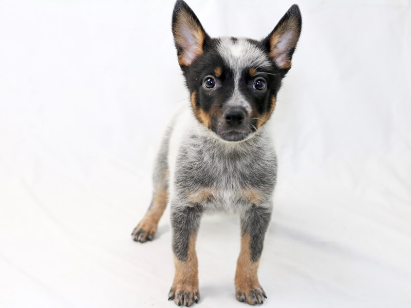 Australian Cattle Dog-Male-Blue-2477261-My Next Puppy