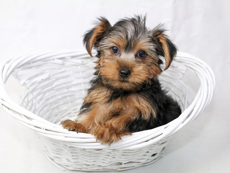 Yorkshire Terrier – Ringo