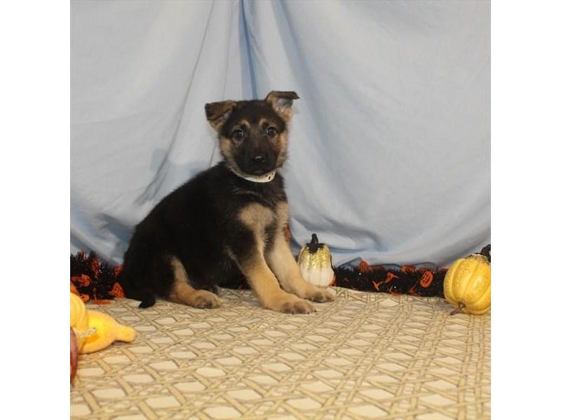 German Shepherd Dog – Sophie