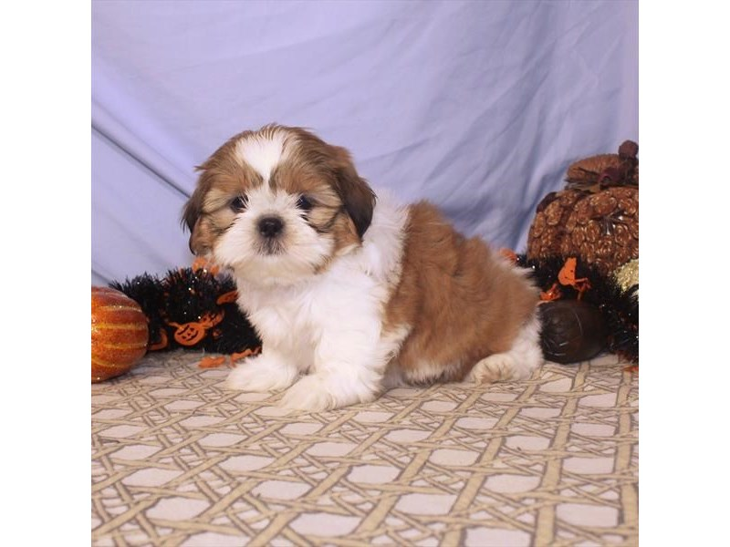 Shih Tzu-Male-Gold / White-2496542-My Next Puppy