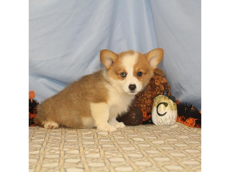 Pembroke Welsh Corgi-Female-Red-2496553-My Next Puppy