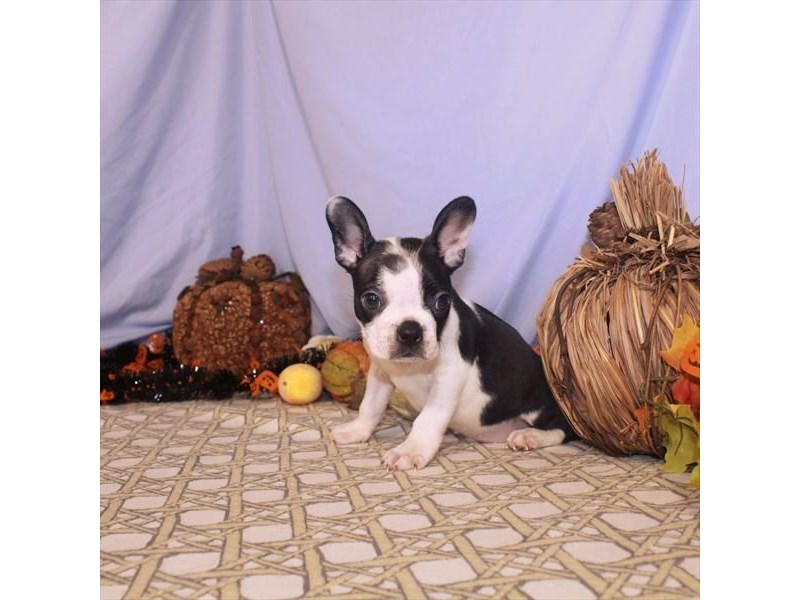 Boston Terrier-Male-Black / White-2496858-My Next Puppy