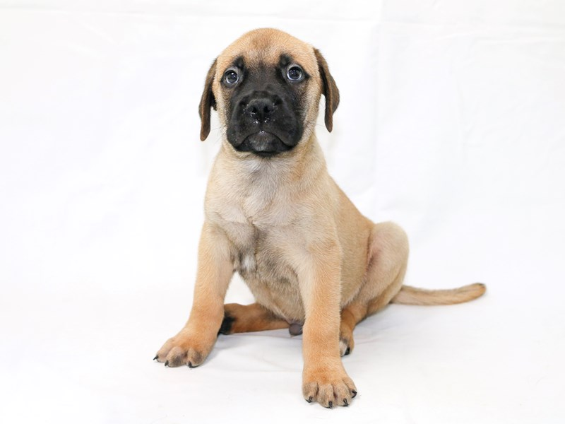 Bullmastiff-Male-Fawn-2440518-My Next Puppy