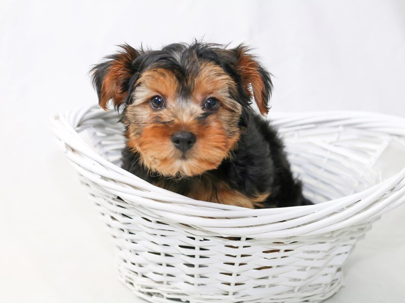 2nd Generation Morkie-Male-Black / Tan-2477627-My Next Puppy