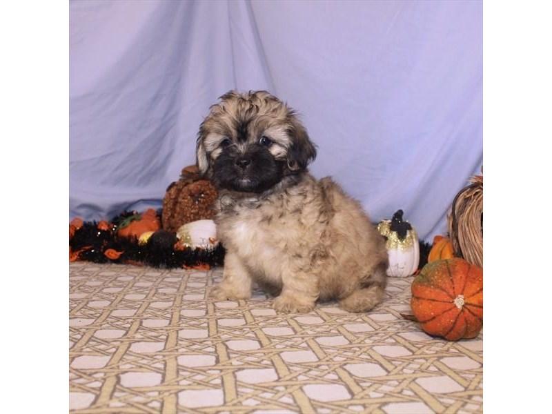 Miniature Pekapoo-Male-Cafe Au Lait-2496545-My Next Puppy