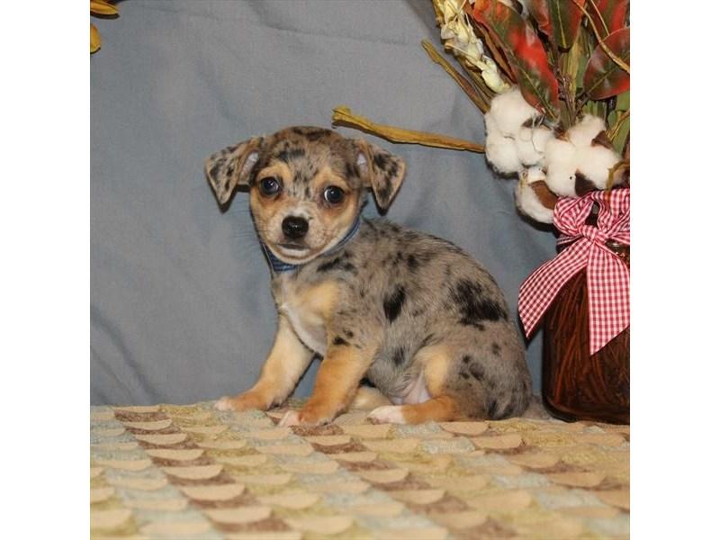 Chihuahua-Female-Blue Merle / Tan-2505462-My Next Puppy