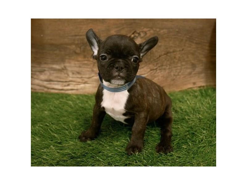 French Bulldog – Gracie
