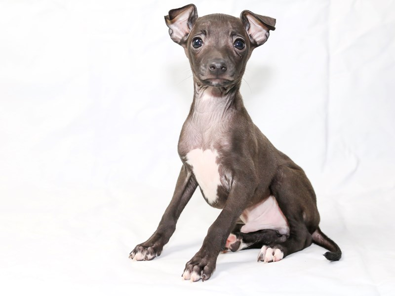Italian Greyhound-Male-Seal-2505458-My Next Puppy