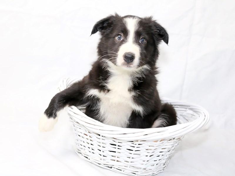 Border Collie-Female-Black-2505463-My Next Puppy