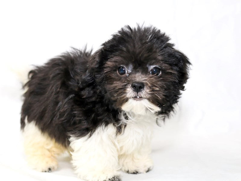 Shih Tzu/Poodle-Male-White / Black-2505465-My Next Puppy