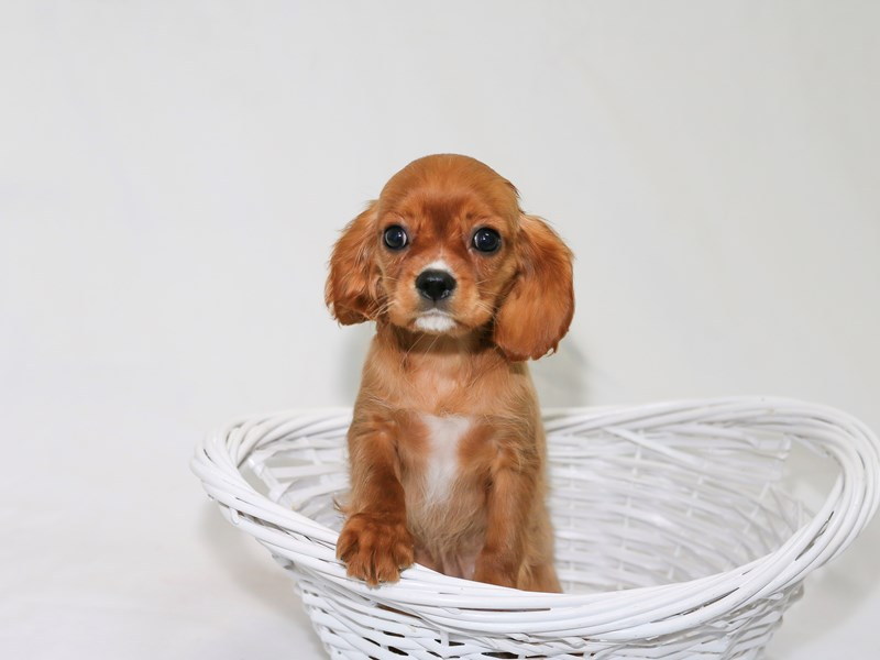 Cavalier King Charles Spaniel-Female-Ruby-2510605-My Next Puppy